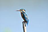 翠鳥  Common Kingfisher  :DSC_2463.JPG