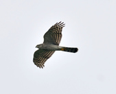 北雀鷹  Northern Sparrow Hawk  :DSC_0430.JPG