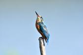 翠鳥  Common Kingfisher  :DSC_2466.JPG