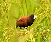 黑頭文鳥:DSC_5188.JPG