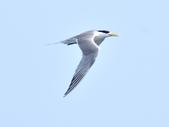 鳳頭燕鷗  Greater Crested Tern :DSC_9032.JPG