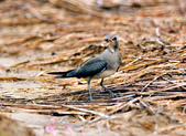 燕鴴 Large Indian Pratincole :DSC_2557.JPG
