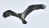 魚鷹 Osprey   :DSC_4265.JPG