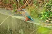 翠鳥  Common Kingfisher  :DSC_8512.JPG