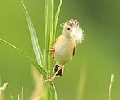 關渡之黃頭扇尾鶯:DSC_0408.JPG