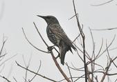 歐洲椋鳥Common Starling  :DSC_9038.JPG