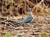 燕鴴 Large Indian Pratincole :DSC_2578.JPG