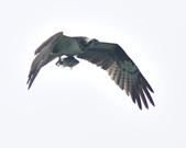 魚鷹 Osprey   :DSC_4314.JPG