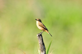 黑喉鴝Common Stonechat  :DSC_9421.JPG