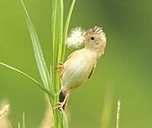 關渡之黃頭扇尾鶯:DSC_0411.JPG