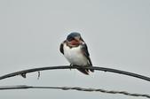 家燕  Barn Swallow   :DSC_4610.JPG
