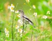 灰背椋鳥  Gray-backed Starling :DSC_6903.JPG