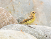 金鵐 Yellow-breasted Bunting  :DSC_7177.JPG