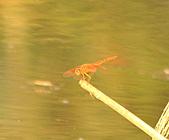 蜻蜓:DSC_8635.JPG