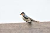 洋燕  Pacific Swallow   :DSC_7100.JPG