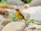 金鵐 Yellow-breasted Bunting  :DSC_6634.JPG