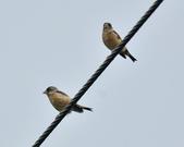 金翅雀  Oriental Greenfinch     :DSC_5347.JPG