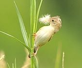 關渡之黃頭扇尾鶯:DSC_0414.JPG