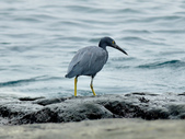 岩鷺  Pacific Reef Egret    :DSC_2087.JPG