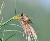 斑文鳥 Nutmeg Mannikin :DSC_6049.JPG
