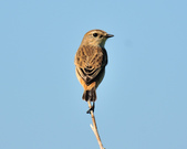黑喉鴝Common Stonechat  :DSC_9333.JPG