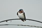 家燕  Barn Swallow   :DSC_4611.JPG