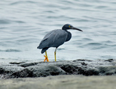 岩鷺  Pacific Reef Egret    :DSC_2089.JPG