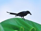 大卷尾Black Drongo  :DSC_3206.JPG