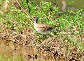 水雉Pheasant-tailed Jacana :DSC_9043.JPG