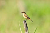 黑喉鴝Common Stonechat  :DSC_9417.JPG