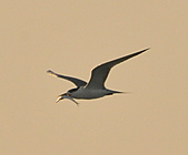 鳳頭燕鷗:DSC_6368.JPG