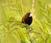 黑頭文鳥:DSC_5210.JPG