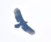 大冠鷲 Crested Serpent Eagle :DSC_1890.JPG