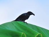 大卷尾Black Drongo  :DSC_3208.JPG