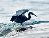 岩鷺  Pacific Reef Egret    :DSC_2096.JPG