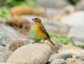 金鵐 Yellow-breasted Bunting  :DSC_6640.JPG
