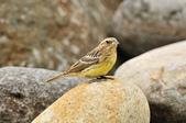 金鵐 Yellow-breasted Bunting  :DSC_7223.JPG