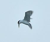 鳳頭燕鷗:DSC_7430.JPG
