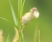 關渡之黃頭扇尾鶯:DSC_0416.JPG