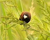 黑頭文鳥:DSC_5211.JPG