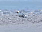 小燕鷗  Little Tern  :DSC_4341.JPG