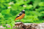 黃尾鴝 Daurian Redstart  :DSC_2462.JPG