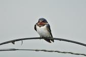 家燕  Barn Swallow   :DSC_4612.JPG