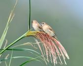 斑文鳥 Nutmeg Mannikin :DSC_6042.JPG
