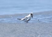 小燕鷗  Little Tern  :DSC_4349.JPG