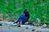 台灣藍鵲  Taiwan Blue Magpie :DSC_2325.JPG