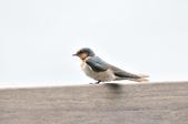 洋燕  Pacific Swallow   :DSC_7096.JPG