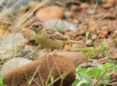 鵐科  Emberizidae:DSC_2691.JPG