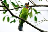 五色鳥  Muller's Barbet   :DSC_3663.JPG