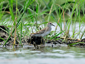 雲雀鷸Long-toed stint  :DSC_2283.JPG